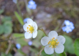 bramble-blossom-2