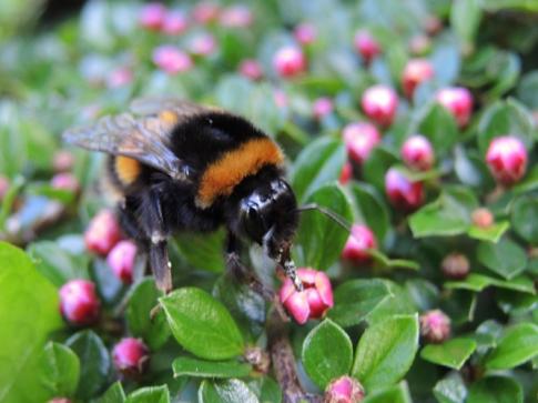 bumblebee-coton-7