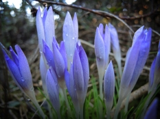 crocuses-wet