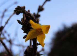 Photo of forsythia bloom