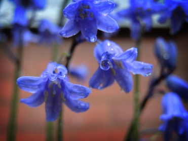 bluebell-drip