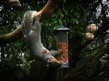 Photo of squirrel on peanut feeder