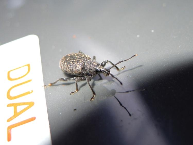 Photo of black vine weevil