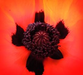 poppy-cu-040616