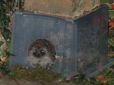 Photo of hedgehog in feeding station