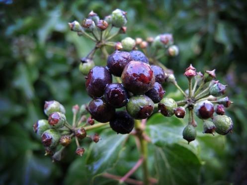 Photo of ivy berries