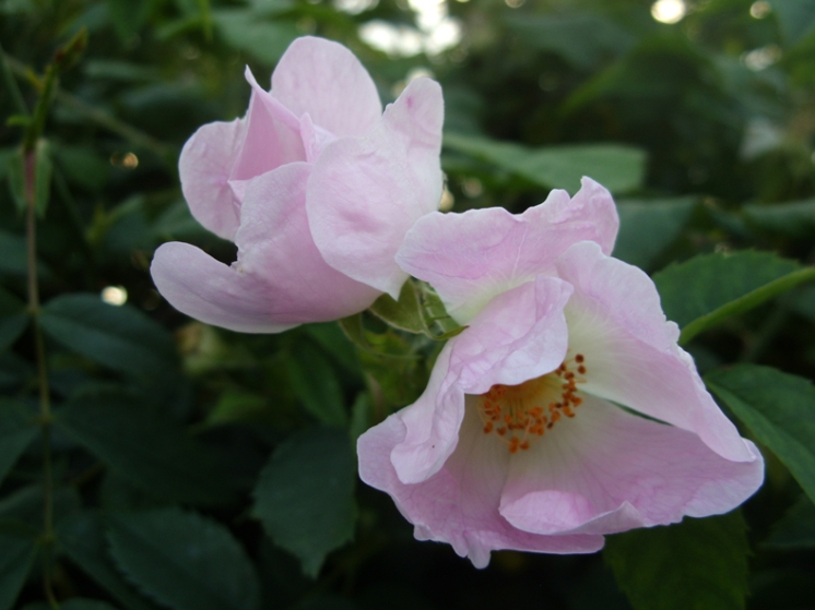 dog-roses-230517