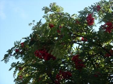 rowan-berries-2017