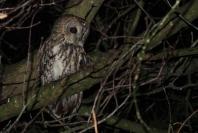 tawny-owl-020119-a