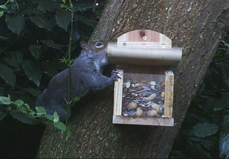 Squirrel lifting lid of squirrel feeder