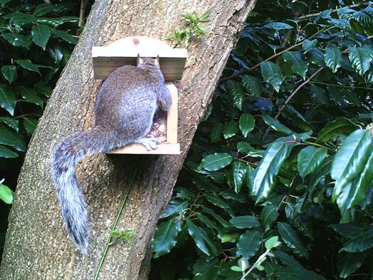 Squirrel using squirrel feeder